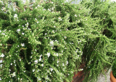 ほふく性のローズマリーの樹形
