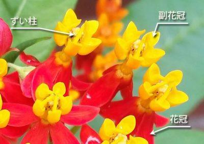アスクレピアスの花の構造