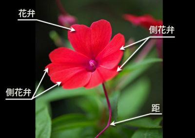 インパチェンスの花の構造