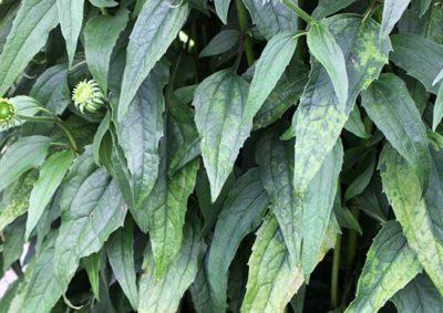 エキナセアの葉