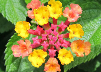 ランタナの花序