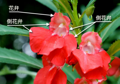 ホウセンカの花の構造(花弁)