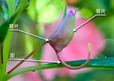 ホウセンカの花の構造(萼片)