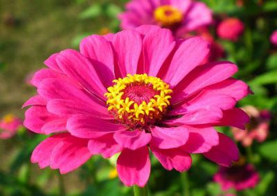 ジニア(ヒャクニチソウ)の花