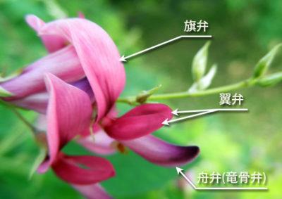 ハギの花の構造