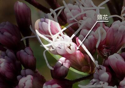 フジバカマの頭花