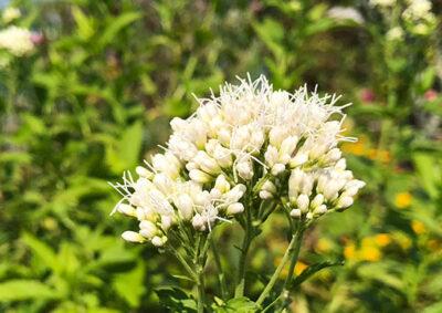 白い花を咲かせるフジバカマ