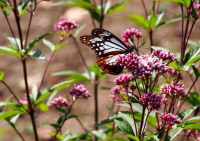 フジバカマに止まる蝶