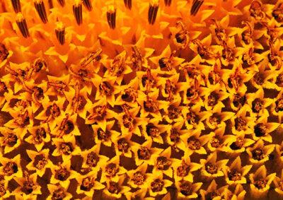 ヒマワリの管状花