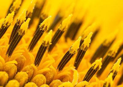 ヒマワリの管状花(雄性期)