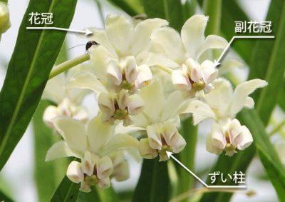 フウセントウワタの花の構造