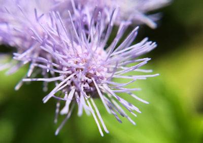 ユーパトリウム(セイヨウフジバカマ)の頭状花