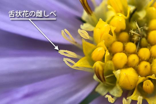 シオンの舌状花の雌しべ