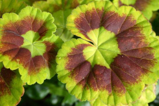 ゼラニウムの葉