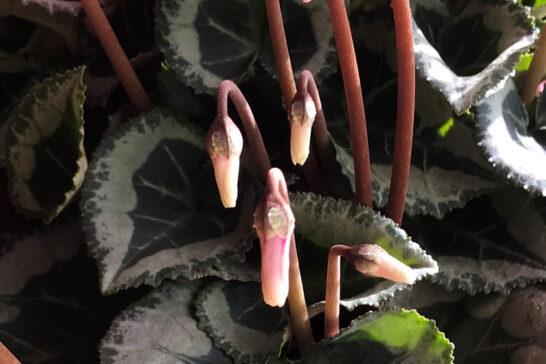 シクラメンの花茎の様子