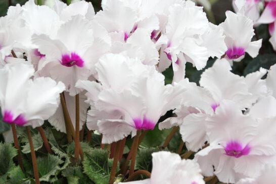 フリンジ咲きのシクラメン