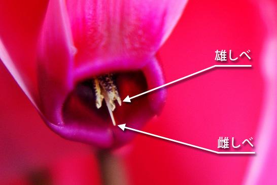 シクラメンの雄しべと雌しべ