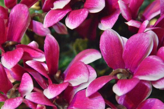 上から見たガーデンシクラメンの花