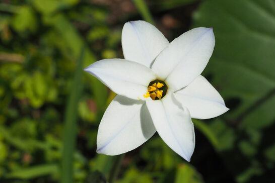 白い花を咲かせるハナニラ