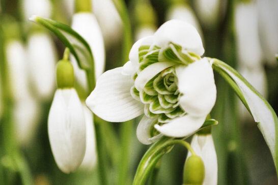 八重咲きのスノードロップ