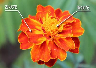 マリーゴールドの舌状花と管状花