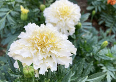 白花のマリーゴールド
