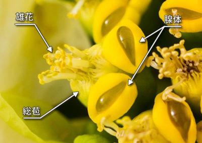 ポインセチアの杯状花序の構造