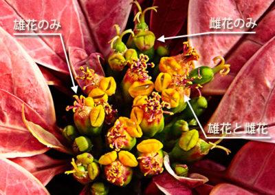 ポインセチアの様々な杯状花序