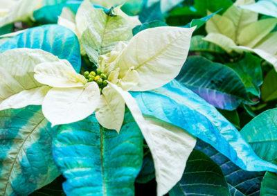 青く彩色されたポインセチア