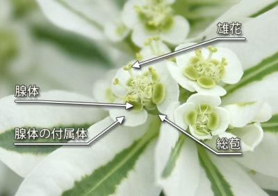 ハツユキソウの杯状花序の構造