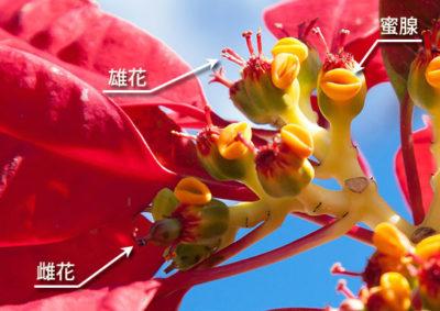 ポインセチアの花の構造