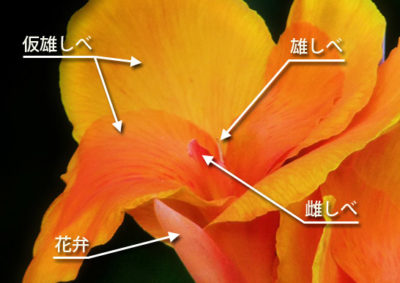 カンナの花の構造