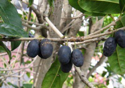 ウスギモクセイの果実