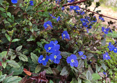 ベロニカ・オックスフォードブルーの花