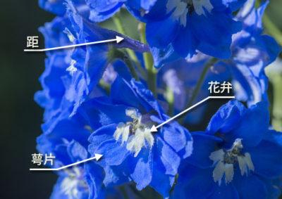 デルフィニウムの花の構造