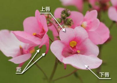 ディアスキアの花の構造