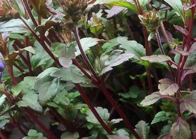ベロニカ・オックスフォードブルーの葉