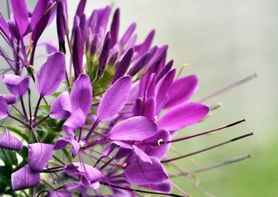 紫のクレオメ