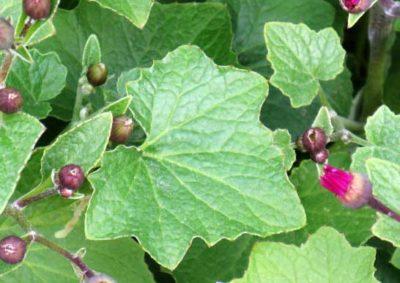 サイネリアの葉