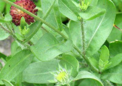 ガイラルディア(テンニンギク)の葉