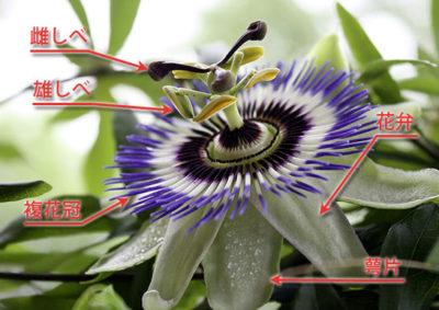 トケイソウの花の構造