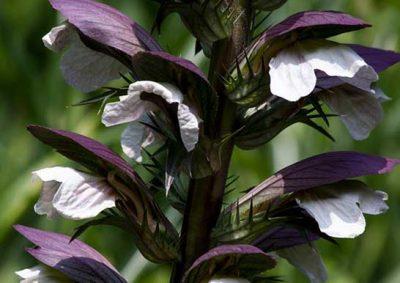 アカンサスの花
