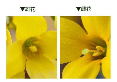 レンギョウの雄花と雌花