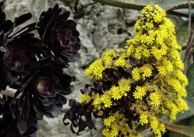 黒法師の花