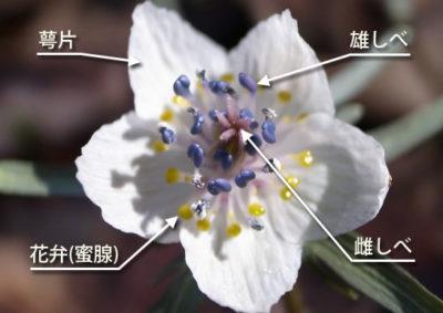 セツブンソウの花の構造