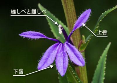 サワギキョウの花の構造