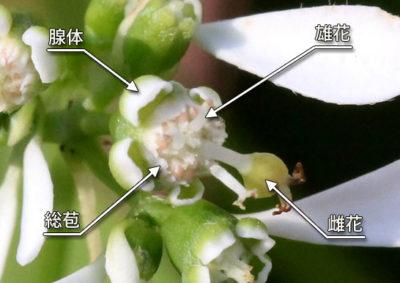ユーフォルビア・ダイヤモンドフロストの杯状花序の構造