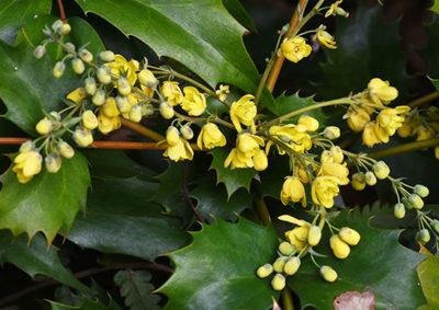 ヒイラギナンテンの花序