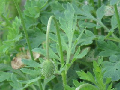 ナガミヒナゲシの葉
