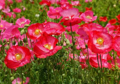 ヒナゲシの花